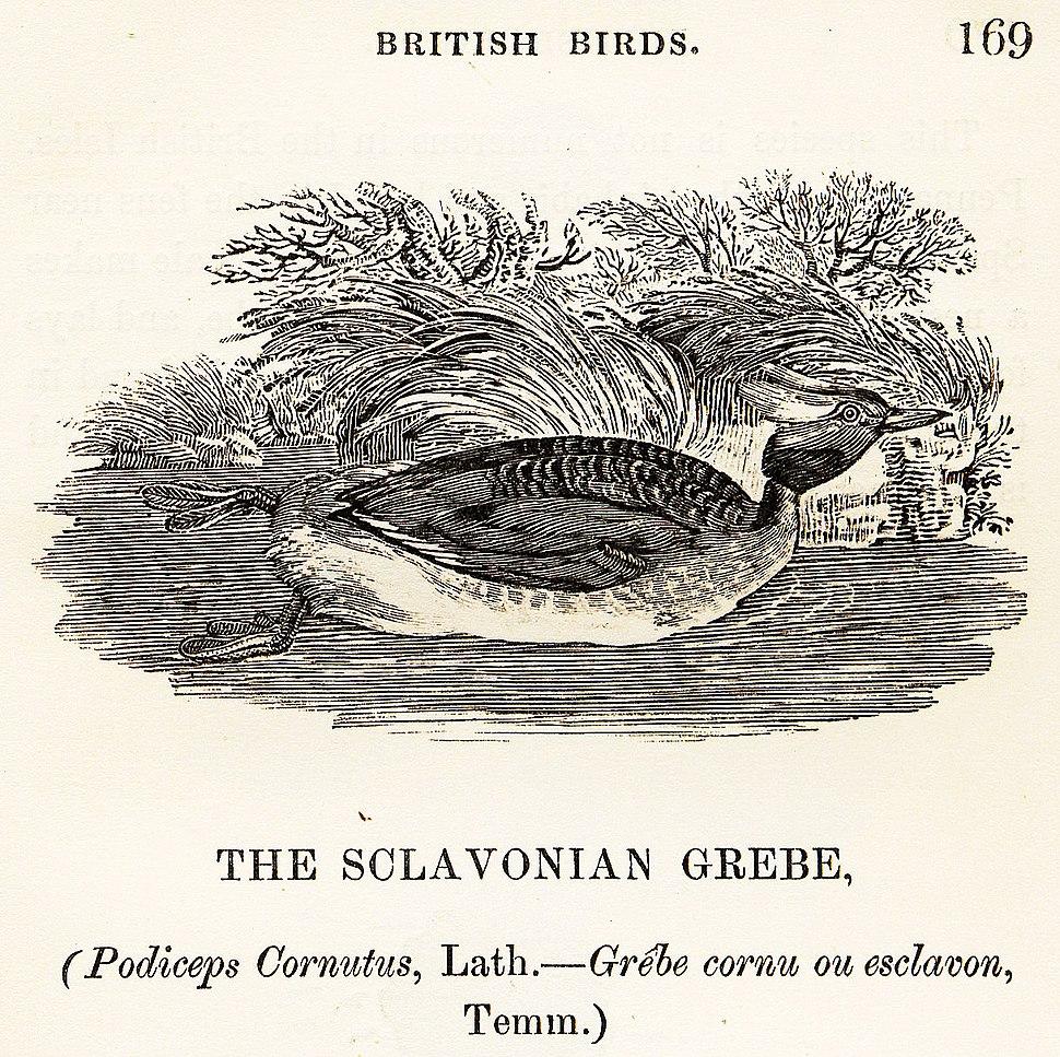 Sclavonian Grebe Thomas Bewick 1804
