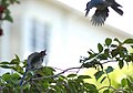 Scrub Jay Fledgling Being Fed By a Relative.jpg