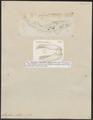 Scyllium stellare - 1700-1880 - Print - Iconographia Zoologica - Special Collections University of Amsterdam - UBA01 IZ14100115.tif