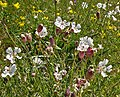 Sea Campion - geograph.org.uk - 808268.jpg