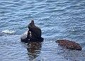 Sea Lion (9228379692).jpg