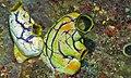 Sea Squirts (Polycarpa aurata) (8474256286).jpg