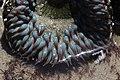 Sea anemone (28300928907).jpg