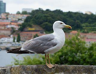 Yellow-legged gull species of bird
