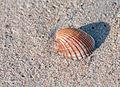 Seashell unknown 2.jpg