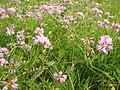 Fabaceae 01 bgiu.jpg