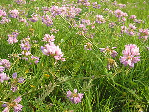 Securigera varia - A field with crownvetch