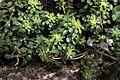 Sedum cepaea plant (16).jpg