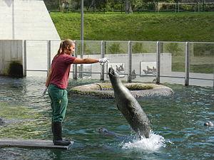 Saarbrücken Zoo - Image: Seehundfuetterungimz oosaarbruecken 2014