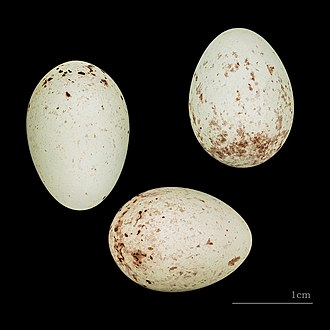 Atlantic canary - Eggs of Serinus canaria canaria Tenerife MHNT