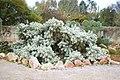 Ses Salines - Botanicactus - Cylindropuntia tunicata 07 ies.jpg
