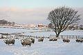 Sheep, Tree and Snow, Baldwin Lane, Clayton (3256507724).jpg