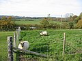 Sheep grazing Woodgreen Hampshire - geograph.org.uk - 273341.jpg