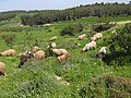 Sheep grazing against background of Moshav Tzafririm.jpg