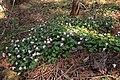 Shortia uniflora 08.jpg