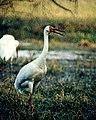 Siberian Cranes (Grus leucogeranus) (20405103956).jpg