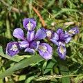 Siberian Iris bpeoples.jpg
