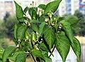 Sibirischer Hauspaprika mit noch grünen Chilis.jpg