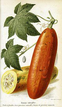 Sicana odorifera E Andre 1890