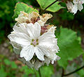Sidalcea malachroides 1.jpg