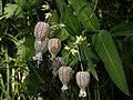Silene vulgaris - Gewöhnliches Leimkraut.jpg