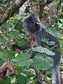 Silvered leaf monkey (8053619360).jpg