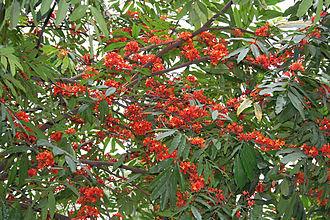 Saraca asoca - Leaves and flowers in Kolkata, West Bengal, India