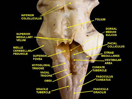 Embryology 18 Ear also Spermacoce 20alata 20li additionally Endocrine   Pancreas Development together with 4 Thalamus as well Somite. on dorsal ventral surface