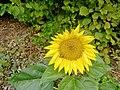 Slunečnice6.jpg