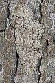 Small Engrailed - Ectropis crepuscularia, Leesylvania State Park, Virginia.jpg