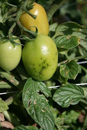 Pseudomonas syringae - Image: Smart tomato speck