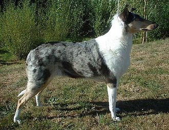 Smooth Collie - Blue merle Smooth Collie