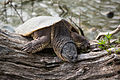 Snapping Turtle in North Pond, Chicago.jpg