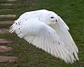 Snowy Owl in Flight (6446939649).jpg