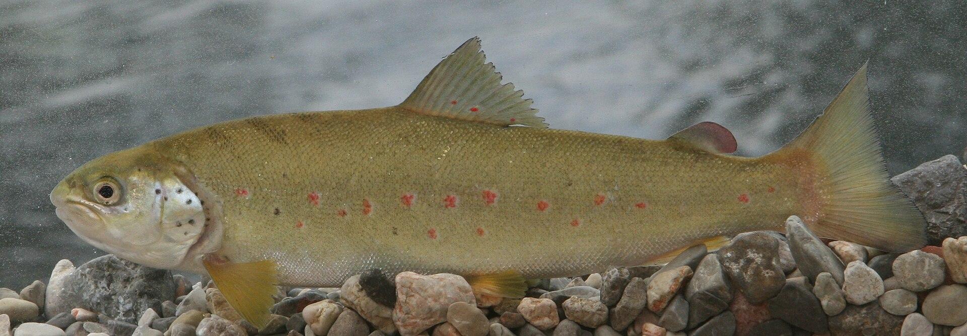 Fish species of the neretva basin wikipedia for Fish representative species