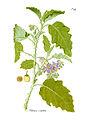 Solanum coagulans 469.jpg
