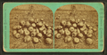 Some pumpkins, from Robert N. Dennis collection of stereoscopic views.png