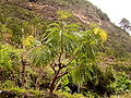 Sonchus palmensis (Los Tilos) 01.jpg