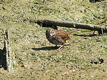 Song Sparrow, Vancouver.jpg