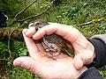 Song Sparrow (2460033944).jpg