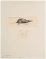 Sorex ezinezumi - 1700-1880 - Print - Iconographia Zoologica - Special Collections University of Amsterdam - UBA01 IZ20900131.tif