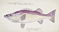 Southern Pacific fishes illustrations by F.E. Clarke 86.jpg