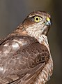 Sparrowhawk mark medcalf.jpg