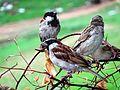 Sparrows(Cidiya)2.jpg