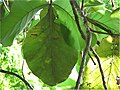 Spathodea campanulata 1zz.jpg