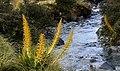 Speargrass, Golden spaniard, Aciphylla aurea, (23876741736).jpg