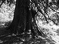 Specimen tree (geograph 5311635).jpg