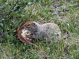 Spermophilus parryii (eating mushroom).jpg