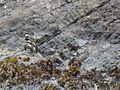 Spheniscus magellanicus, Quelalmahue, Chile 1.jpg