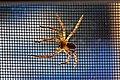 Spider (4209033856).jpg